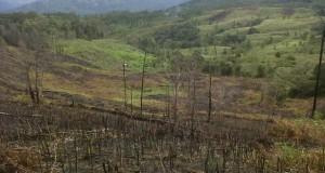 Hutan Pining Dibakar dan Dijarah, Polhut Mana !
