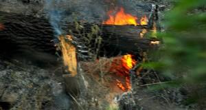 Hutan Linge Terbakar Ternak Kurang Nutrisi, Kearifan Lokal Solusinya
