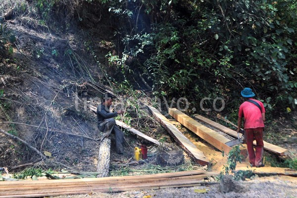 Serakan papan dari kayu pinus Linge. (Kha A Zaghlul)