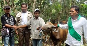 Distannak Bireuen Serah Sapi Bali untuk Pengembangan Sapi Potong