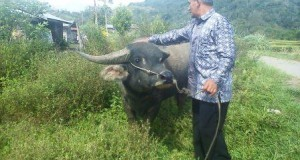 Pencurian Ternak dengan bunuh di tempat marak di Linge