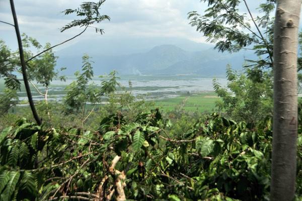 Kebun kopi Banaran berlatar panorama Rawa Pening