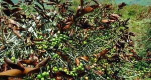 Ahli budidaya kopi : kurangi dampak salju dengan pohon naungan