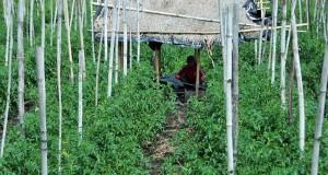 Pertanian Gayo Perlu Solusi Agar Petani Tidak Merugi