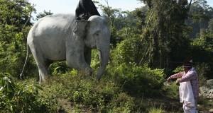 Pengantin Gajah