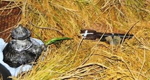 Nanyang, kenduri Tulak Bele mengawali musim tanam padi