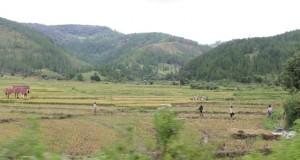Warga Sekuelen panen padi saat musim hujan