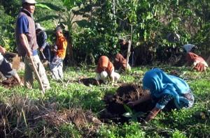 Kerjasama perawatan kebun kopi di SDN Paya Ringkel. (Foto : Gunawan Tawar)