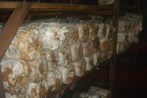 Susunan baglog di atas rak kayu di Rumah Jamur