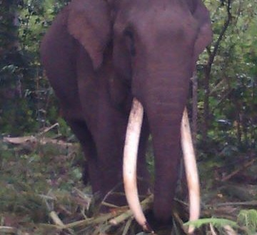 Waduh! Gajah Tungel Masuk ke Komplek Pesantren Nurul Islam Blang Rakal