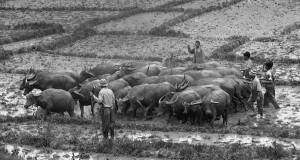 Kerbau, Ternak yang Lekat dengan Kearifan Lokal Gayo