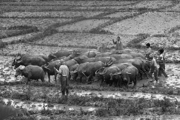 Membajak sawah dengan kerbau di Owaq Aceh Tengah. (Foto : Khalisuddin)