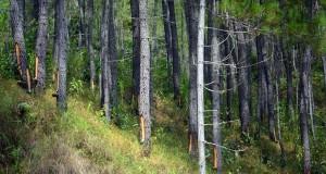 Aman Jas Warga Linge Berduit dari Getah Pinus