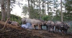 Kerbau Gayo Ditetapkan Sebagai Kekayaan Sumber Daya Genetik Ternak Lokal Indonesia