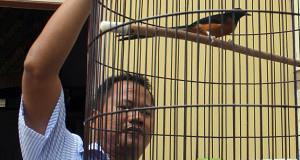 Burung Murai 'ATM' Milik Kapolres Ini Sudah 100 Kali Lebih Sabet Juara