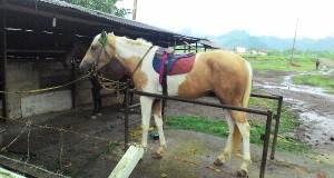 Dini Hari Tadi, Kandang Kuda Milik Reje Tan Saril Terbakar