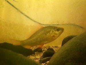 ikan peres (1)