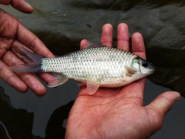 ikan peres (2)