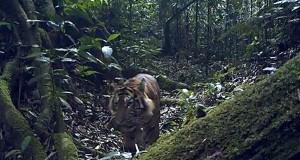 Malam Menegangkan, Pengalaman Tidur di Hutan Ditemani Harimau