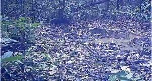 [FOTO-FOTO] Spesies Satwa Terekam Kamera di Hutan Samar Kilang