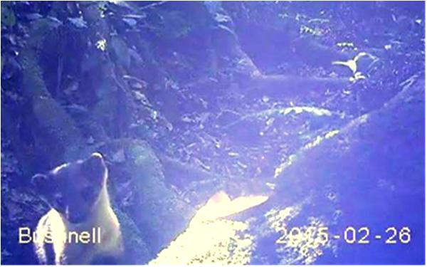 Spesies Satwa yang terekam kamera dan namanya belum di ketahui (foto: wwf)
