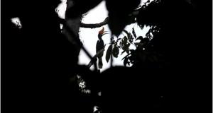Gencar Diburu, Keberadaan Reje Bujang di Hutan Pining Terancam