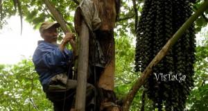 Potensi Pengembangan Tumbuhan Aren di Aceh Tengah