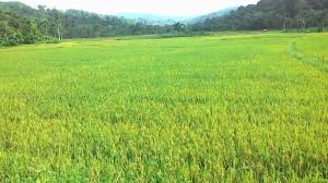 Lahan Sawah Desa Jamat