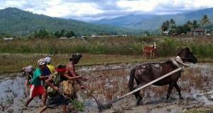 Hemat, Aman Otih masih Andalkan Tenaga Kuda Membajak Sawah