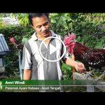 [Video] Pelihara Ayam Ketawa Membuat Hobi Jadi Hoki