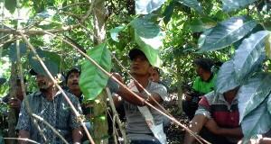 Puluhan Petani di Pegasing Diberi Penyuluhan Cara Pemangkasan Kopi