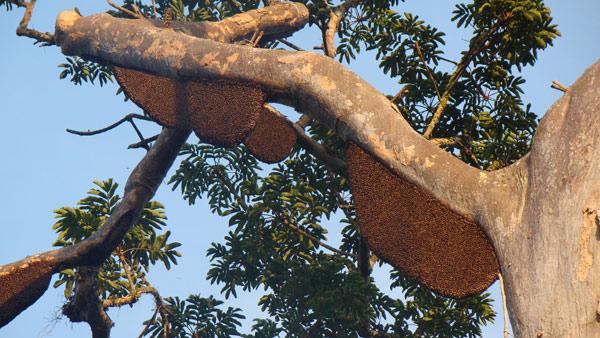 Sarang lebah hutan yang akan di panen. (foto : Ahmadi)