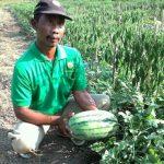 Petani Ketapang Sukses Kembangkan Pola Tumpangsari Cabe-Semangka