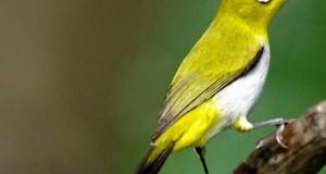 """Mari Selamatkan Burung : Gencar Diburu, Keberadaan Sesir """"Pleci"""" di Gayo Langka"""
