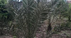 Kurma Tumbuh Subur di Jagong Jeget, Bisakah Berbuah?