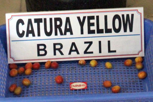 kopi_catura-yellow