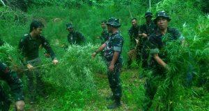 15 Hektar Ladang Ganja Dimusnahkan di Aceh Utara