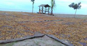 Gayo Musim Hujan, Syukri Jemur Kopi di Pantai Lhokseumawe