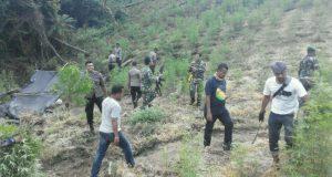 TNI/Polri Musnahkan Ladang Ganja ±2 Hektar