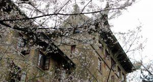 "Sakura di Wuhan University Peninggalan ""Ras Jepang"""