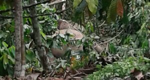 Seekor Gajah Ditemukan Mati di Pining Gayo Lues