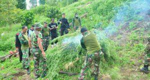 2 Hektar Lahan Ganja Ditemukan di Beutong Ateuh
