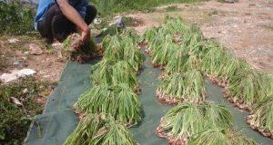 Penyuluh Pertanian Kreatif, Kenalkan Budidaya Bawang Merah Dalam Polybag