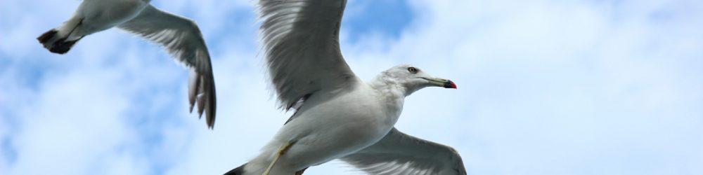 cropped-seagull-623520_1920.jpg