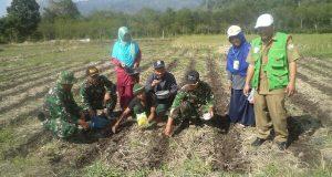 1,5 Hektar Lahan Percontohan Bies Ditanami Jagung Hibrida