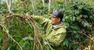 Turun ke Kebun Kopi, Bupati Ahmadi Semangati Petani