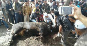 Bupati Ahmadi Sembelih Sapi Qurban Jokowi di Redelong