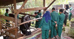 SMK PP Bireuen Kunjungi Peternakan Buntul Pediwi