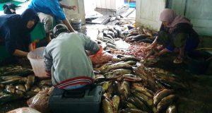 Ikan Mati Massal di Danau Lut Tawar Aman Dikonsumsi