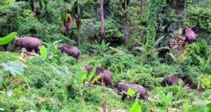 Setelah Digiring, Kawanan Gajah Kembali ke Pemukiman Warga